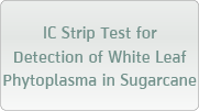IC Strip Test for Detection of White Leaf Phytoplasma in Sugarcane